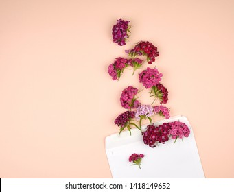 Turkish carnation Dianthus barbatus flower buds and a white paper envelope on a peach background, top view