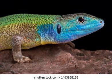 Turkish green lizard (Lacerta pamphylica)