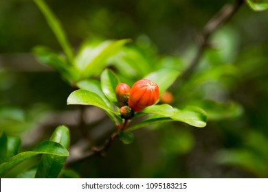 Turkish or mediterranean pomegranate flowers and green leaves in nature