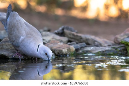 Turkish turtledove drinking in an abbreak
