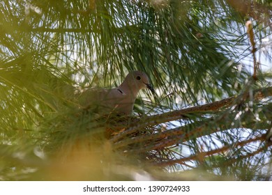 Turkish turtledove incubating in the nest. Streptopelia decaocto.
