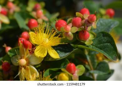 Turkish tutsan yellow flower - Latin name - Hypericum inodorum (Hypericum xylosteifolium)