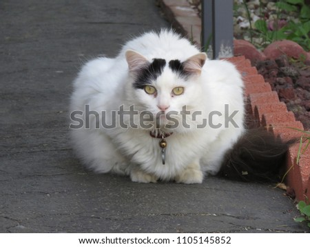 5b33daee2b Turkish Van Cat Stock Photo (Edit Now) 1105145852 - Shutterstock