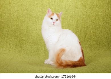 Turkish Van cat sitting on lime green background