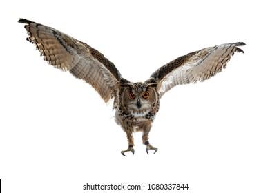 Turkmenian Eagle owl / bubo bubo turcomanus in flight / landing isolated on white background looking at lens