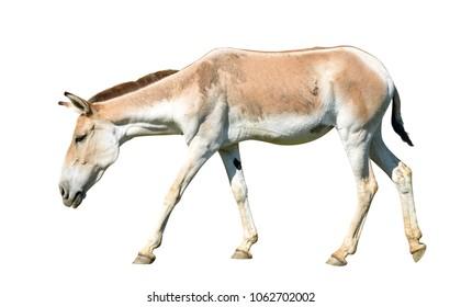 Turkmenian kulan (Equus hemionus kulan) isolated on a white background.