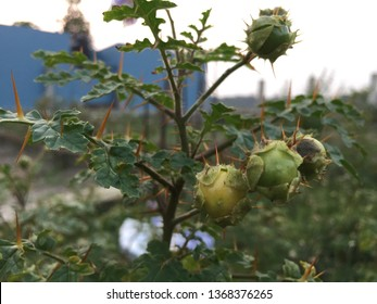 Turky  Berry or Solanum torvum is a bushy, erect and spiny perennial plant used horticulturally as a rootstock for eggplant