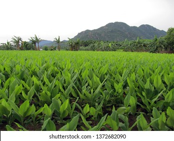Turmeric plant field on hill side.