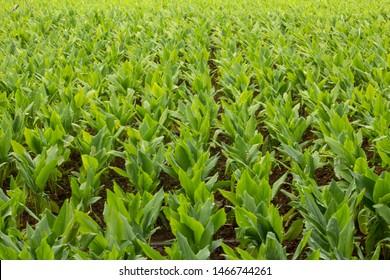 Turmeric Plantation (Curcuma longa), Hasanur, Tamil Nadu - Karnataka State border, India