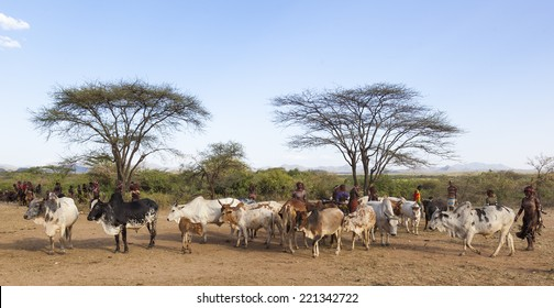 TURMI, OMO VALLEY, ETHIOPIA - DECEMBER 30, 2013: Unidentified people prepare bulls for bull jumping ceremony.  Jumping of the bull is a rite of passage into manhood for some Omo Valley tribes.