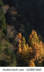 Turning yellow of japanese larch forest