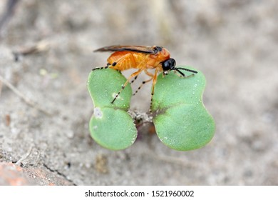 Turnip sawfly (Athalia colibri or rosae) on a young rapeseed plant. Pests of rapeseed, mustard, cabbage and other plants.