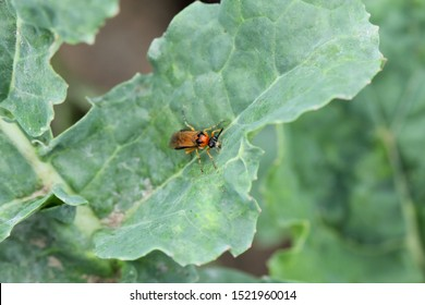 Turnip sawfly (Athalia colibri or rosae) on a rapeseed plant. Pests of rapeseed, mustard, cabbage and other plants.