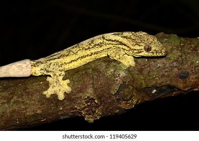 Turnip-tailed gecko (Thecadactylus rapicaudus)