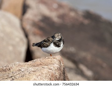 Turnstone standing on one leg on a rock watching