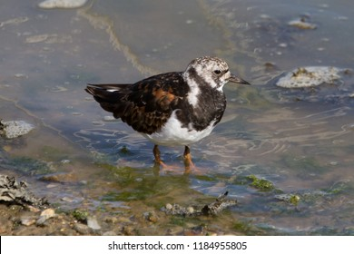 Turnstone at Tichfield Haven