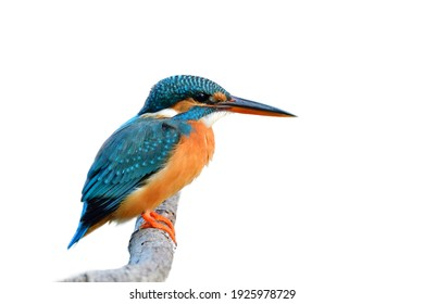 Turqouise Blue bird with black and red beaks calmly perching on wooden branch isolated on white background, common kingfisher (Alcedo atthis)