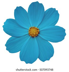 turquise flower Primula.  white isolated background with clipping path. Closeup.  no shadows. yellow center. Nature.