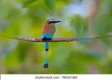Turquise-browed Motmot, Eumomota superciliosa, portrait of nice big bird from wild nature, beautiful coloured forest background, art view, Costa Rica.
