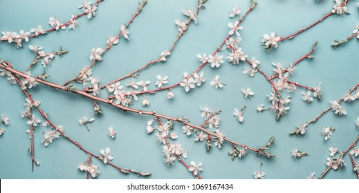 Turquoise blue Spring background with cherry twigs and blossom, top view, flat lay. Creative springtime layout, banner or template