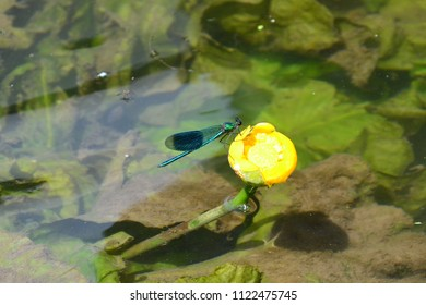turquoise damselfly on a yellow lily-pad