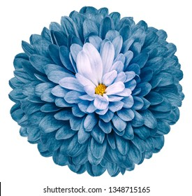 turquoise flower  chrysanthemum on white isolated background with clipping path  no shadows. Closeup.  Nature.