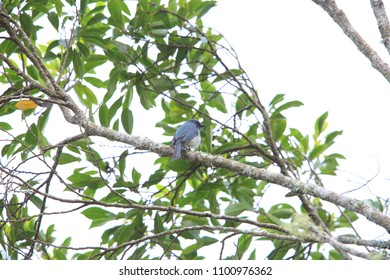 Turquoise flycatcher (Eumyias panayensis) in Mindanao Island, Philippines