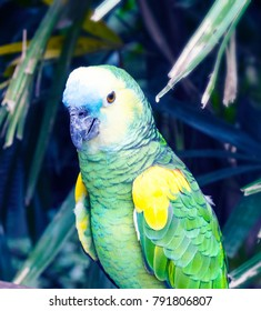 The turquoise fronted amazon (Amazona aestiva), also called  the blue fronted speaking parrot portrait in his habitat