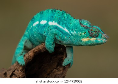 Turquoise green chameleon sitting on a  branch.