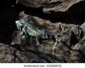 Turquoise iguana sunbathing on rocks of Guadeloupe archipelago in the Caribbean sea