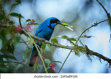 Turquoise Jay Cyanolyca turcosa, vibrant blue bird with the black mask and collar, with green Grasshopper in its beak. Perched on mossy branch against blurry cloud forest. Bellavista,  Ecuador.