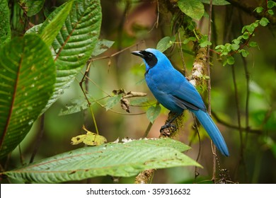 Turquoise Jay Cyanolyca turcosa, vibrant blue bird with the black mask and collar in typical environment of cloud forest. Perched on mossy branch, blurry green background. Andes,Ecuador.