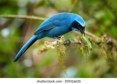 Turquoise Jay Cyanolyca turcosa, vibrant blue bird with the black mask and collar, with green Grasshopper in its beak. Perched on mossy branch, blurry green background. Cloud forest, Andes,Ecuador.