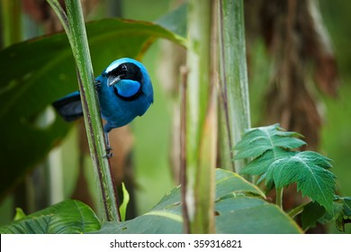 Turquoise Jay Cyanolyca turcosa, vibrant blue bird with the black mask and collar in typical environment of cloud forest. Perched on stem, staring directly at camera, forest background.Andes,Ecuador.