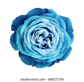 turquoise rose flower. white isolated background with clipping path. Nature. Closeup no shadows. Nature.