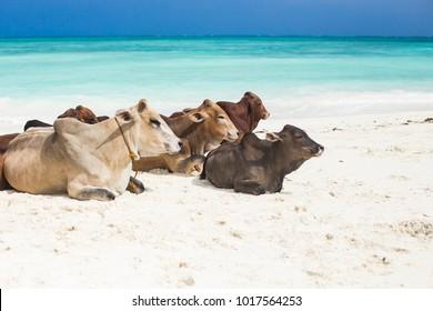 Turquoise water on Zanzibar beach, Nungwi, Tanzania. Group of cows resting on the sand, Zanzibar
