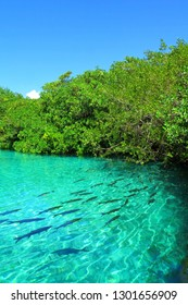 Turquoise water with swimming fish and vivid green mangroves. Plants, sky, sunny day and lake. Mangrove in the sunny day.