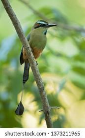 Turquoise-browed motmot (Eumomota superciliosa) also known as Torogoz, is a colourful, medium-sized bird of the motmot family