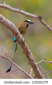 Turquoise-browed Motmot, Eumomota superciliosa, the national bird of Nicaragua