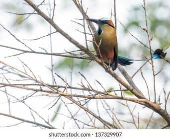 Turquoise-browed Motmot in Tree