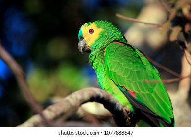 Turquoise-fronted Amazon (Amazona aestiva, aka Turquoise-fronted Parrot) on a Branch. Pantanal, Brazil