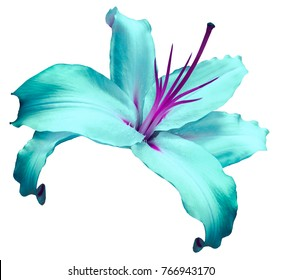 Turquoise-violet   flower  lily on white isolated background with clipping path  no shadows. Closeup. Flower for design, texture, background, frame, wrapper. Close-up. Nature.