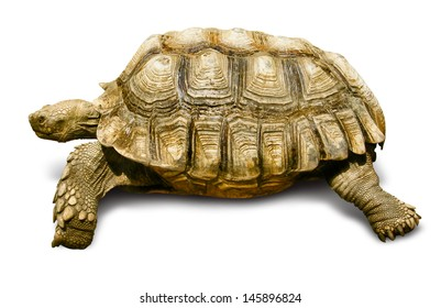 Turtle African Spurred Tortoise Isolated on White