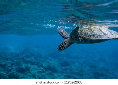 Turtle after taking a breath