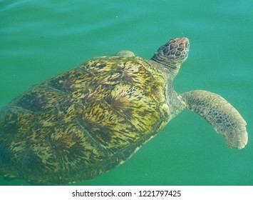 A turtle approaches the water surface from below