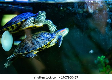 turtle in an aquarium, close up. Turtles - one of the four modern detachments of reptiles. A popular pet living 10-30 years. aquarium with a turtle with a blue backlight.
