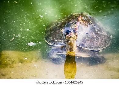 Turtle aquatic life