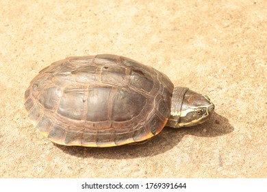 Turtle  , Asian leafe turtle (Cyclemys dentata). Snail-eating turtles on the floor