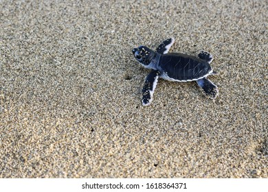 Turtle babies at Sukamade Turtle Beach in East Java, Indonesia. Wildlife conservation.