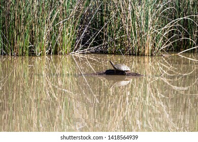 Turtle in Bosque del Apache National Wildlife Refuge